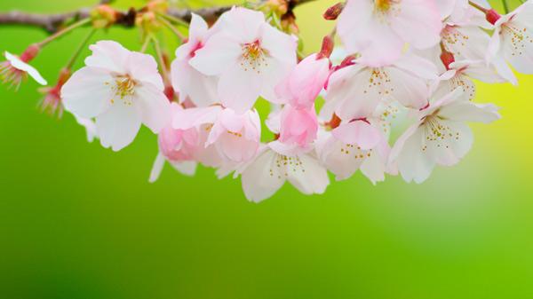 桜 最初の4月行事
